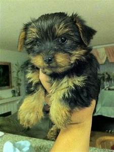yorky puppies for adoption in san go