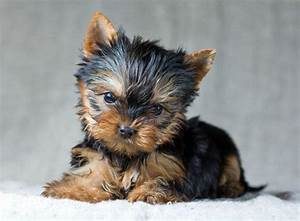 Yorkie Male Dog Names images