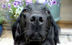 Pedigree Dogs Exposed - The Blog: Your dog has no nose...