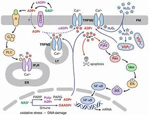 Upstream And Downstream Signaling Mechanisms For Trpm2