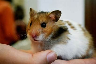 Hamster Desktop Wallpapers Wallpics Animals Backgrounds Deviantart