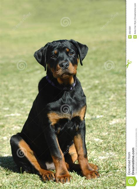 rottweiler puppy stock image image  expressions breed