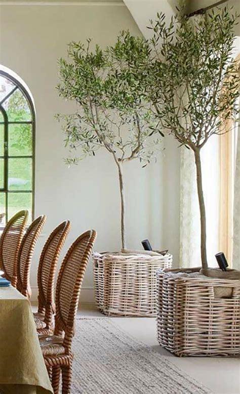 indoor citrus tree indoor olive trees