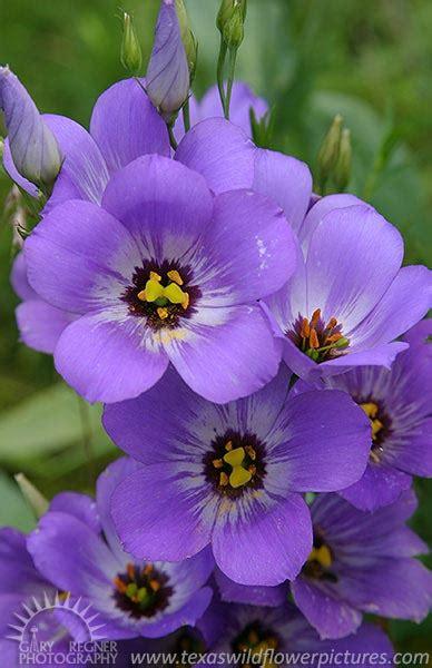 Texas Blue Bell Flower