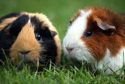 sexing guinea pigs   piggy male  female
