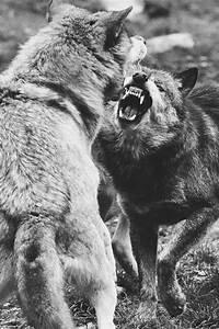 wolf fight on Tumblr
