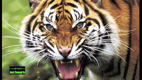 angry tiger roar leo tattoo wild animals attack tiger