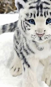 Rare white baby tiger   Baby animals funny, Cute wild ...