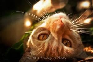 ginger orange tabby cat amber eyes matted 5x7 print 8x10 mat