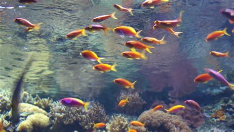 colorful fish  coral reef red sea stock footage video