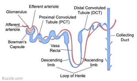 labeled diagram   nephron   location
