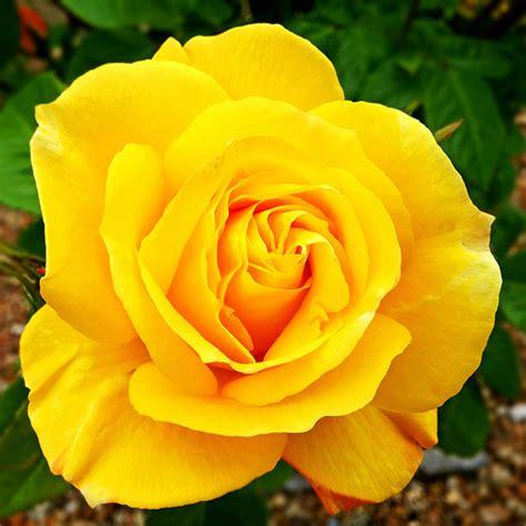 gelbe blumen bedeutung bedeutung gelbe welche bedeutung haben gelbe gelbe bedeutung sorten und