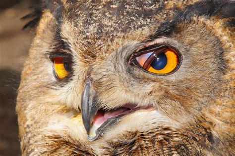 eagle owl eyes  image