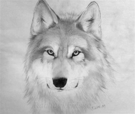 wolf drawing  drawing