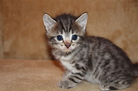 cat sales bengal kittens for raedy to go