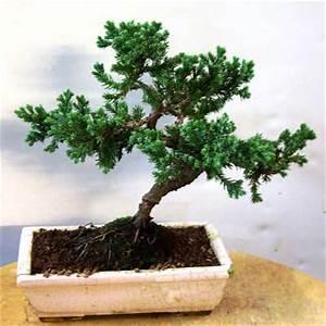 Chinesischer Wacholder Bonsai : indonesischer wacholder carmens bonsai garten online shop f r bonsai pflanzen b ume bonsai ~ Sanjose-hotels-ca.com Haus und Dekorationen