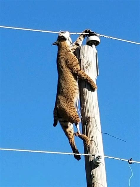 electric fence wire check out photos of bobcat hanging from power line