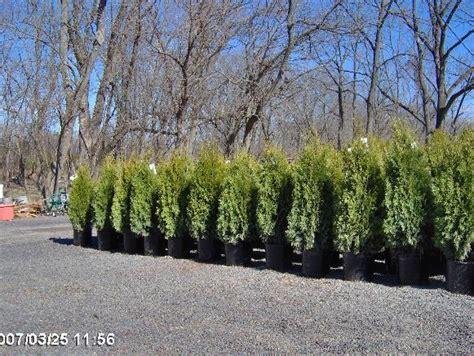 western red cedarsarborvitae virescens