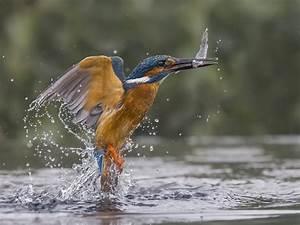 Beautiful Kingfisher Image Wins Photo Of The Week  Kingfisher