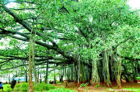 Big Banyan Tree - www.bangalorebest.com