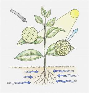 Photosynthesis Study Guide