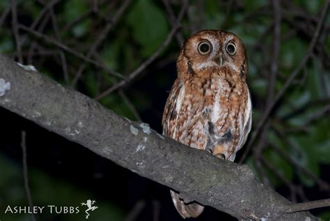eastern screech owl song call voice sound