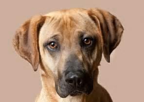 the 20 hottest dog breeds mountain cur everythingdogz
