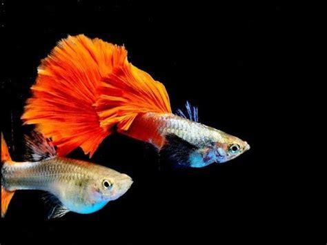show fish ifga  black red fancy guppies doovi