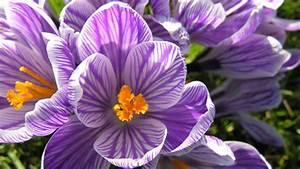 Wann Krokusse Pflanzen : krokus pflanzen richtige pflanzzeit f r krokuszwiebeln ~ A.2002-acura-tl-radio.info Haus und Dekorationen