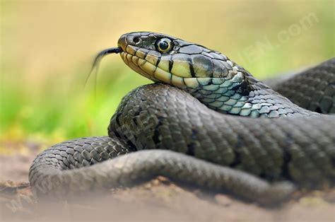 ringelnatter natrix natrix zuengelnd snake  cute