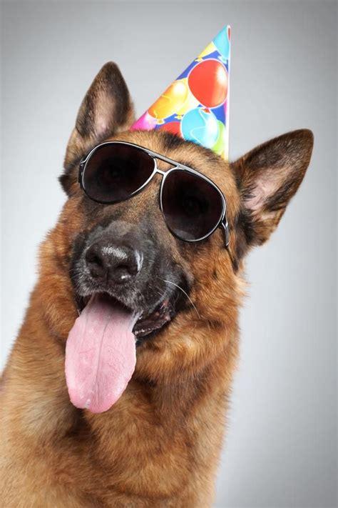 German Shepherd with Sunglasses