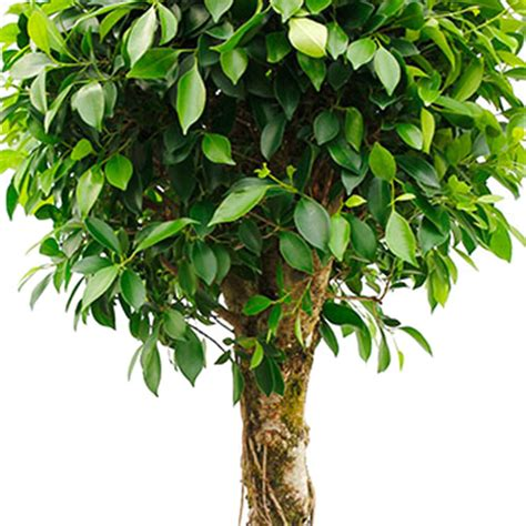 Ficus Pflanze Pflege ficus feige pflege 123zimmerpflanzen