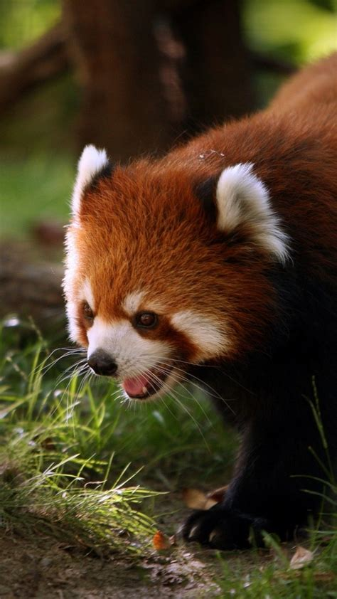 panda hd wallpaper  images