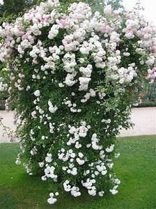 Weiß Blühende Sträucher : foto rambler rose kletterrose wei ~ Michelbontemps.com Haus und Dekorationen
