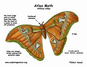 Moth  Atlas