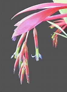 Bromeliads In Australia Hoelscheriana