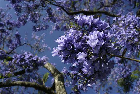 california tree with purple flowers slideshow iseechange why southern california s jacaranda trees may be blooming earlier 89 3