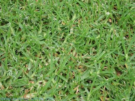 Kikuyu Grass For All Weather / All About Kikuyu Grass