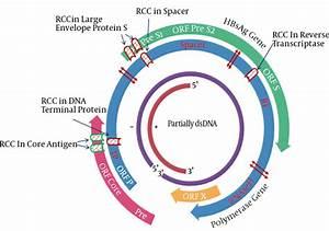 Schematic Diagram Of Rare Codon Clusters In Hepatitis B