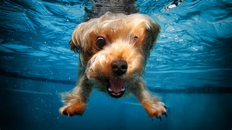 wallpaper terrier dog underwater cute animals funny