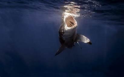 Shark Underwater Sharks Wallpapers Megamouth Animals Ocean