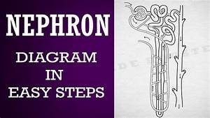 How To Draw  Nephron Diagram In Easy Steps