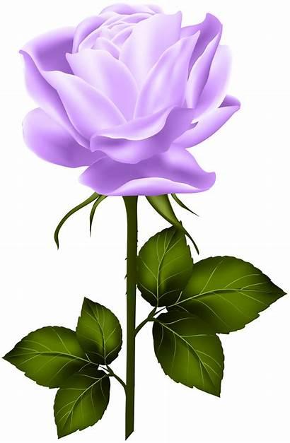 Stem Rose Purple Yellow Clip Roses Clipart