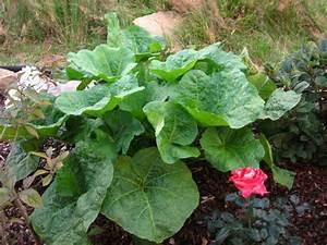 Pflanze Mit Großen Blättern : ausma von stockrosen momentan die bl tter seite 1 ~ Michelbontemps.com Haus und Dekorationen