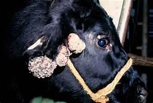 Как удалить бородавки у коров на вымени
