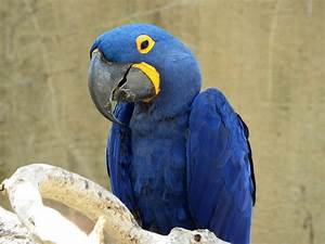 Blue Parrot With Yellow Eyes Photograph by Bob Dashman