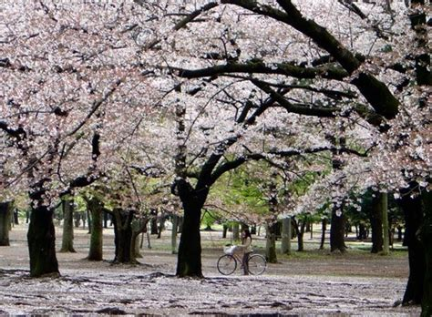 tentang bunga sakura aisyah dinafauzi putris blog