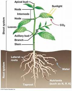 36.1 Root and Shoot Systems at Saint Olaf College ...