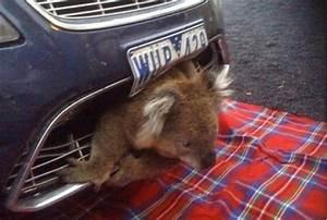 Par Choc Voiture : redirecting to economie auto 589135 20100823 automobile un koala incruste dans un pare chocs ~ Maxctalentgroup.com Avis de Voitures