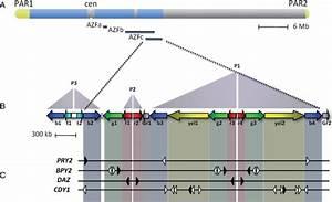 Genomic Organization Of The Azfc Region Of The Y